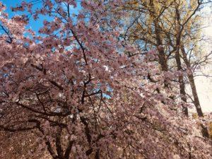 Villiomenapuu kukkii vaaleanpunaisin kukin.